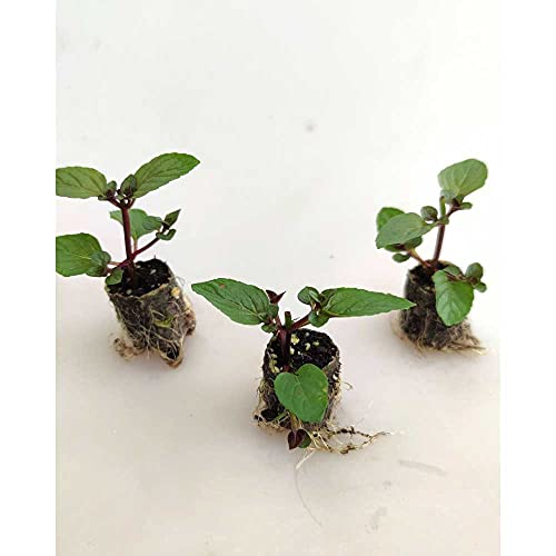 Kräuterpflanzen - Chocolate Pfefferminze - Mentha x piperita - 3 Pflanzen im Wurzelballen