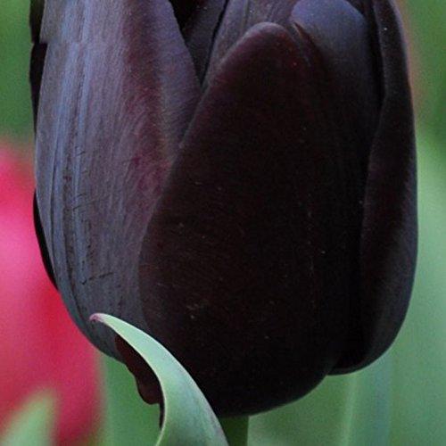 Seltene schwarze Tulpe Blumensamen Hochwertige Pflanzen Tulip Blumensamen 120 Stücke / Los