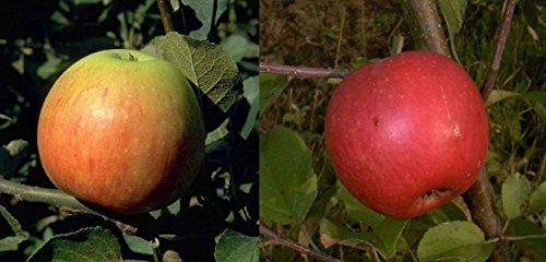 Duo Apfel Obstbaum Apfelbaum James Grieve Elstar 100-150 cm im Topf