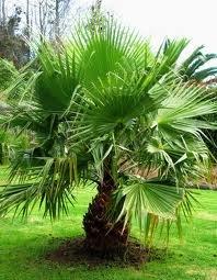 ESP-Handel - Washingtonia robusta - Petticoat Palme - 10 Samen