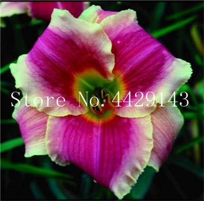 Shopmeeko Graines: Nouveau! 100 Pcs Hollande arc-en-hémérocalle Bonsai Jour Rare Lily Fleur, Flore, Jardin des plantes exotiques plantes de légumes bio peut manger: 19
