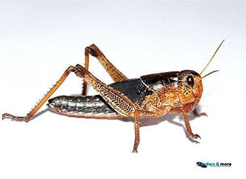 Heuschrecken mittel 100 Stück Wanderheuschrecken Futterinsekten Reptilienfutter