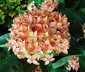 Fash Lady Tiefes Blau: Heiß!20 Farben 300 Hortensien Samen/Tasche Hortensien Blumensamen Topfpflanzen Geranien Balkon Hortensien Zimmerpflanzen Samen