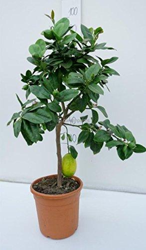 Citrus limon - echte citroenboom - verschillende maten (70-90cm - stam 30cm - pot Dia 19cm)