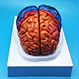 Learning Resources Life Size Human Brain Anatomical Model, Color-Coded Partitioned Brain,Anatomically Accurate Brain Model for Science Classroom Study Display Teaching Model