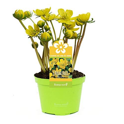 3x Eranthis hyemalis | Winterlinge Zwiebeln im Topf | Gelbe Blumen | Blumenzwiebeln Frühblüher | Höhe 14-17cm | Topf Ø 9cm