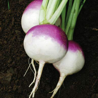 NAVET haut globe blanc pourpre entreprise Heirloom 300+ graines bio et croustillants NON OGM