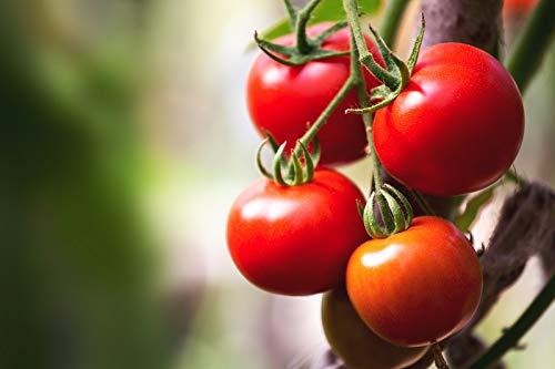 """Tomate""""Moneymaker"""" - große Sorte für den Anbau im Feld und unter Deckeln"""