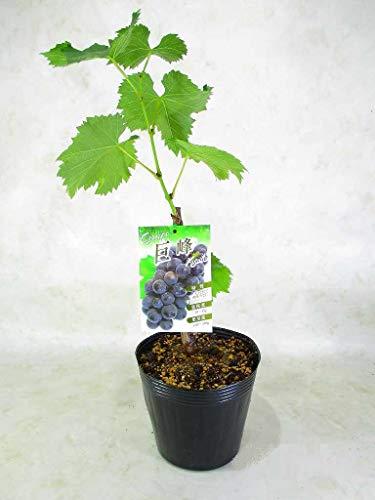 ブドウの苗木 巨峰 翌年には実がつく予定苗木 5号(φ15�p)ポット 全高:約45〜50�p