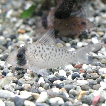 熱帯魚 コリドラス シクリ ワイルド 1匹 【北海道・九州・沖縄・離島は発送不可】 生体