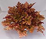 Heuchera - Purpurglöckchen'Marmalade' - in Gärtnerqualität von Blumen Eber