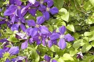 Clematis 'Jackmanii' - Winterharte Schlingpflanze