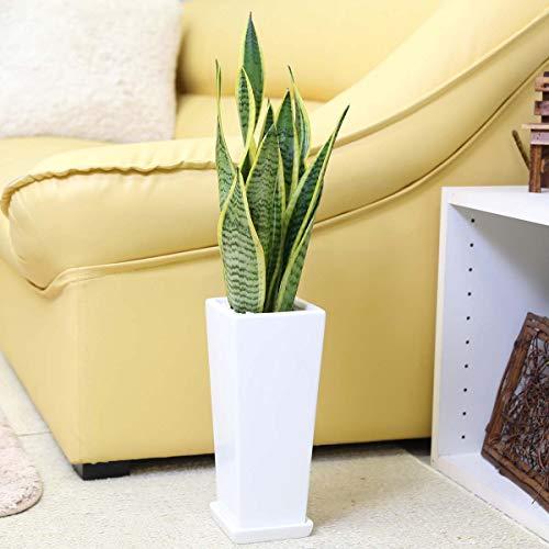【ブルーミングスケープ】空気を浄化するといわれているサンスベリア 5号 スクエアホワイト陶器鉢 「ストレート」+陶器製お皿付き