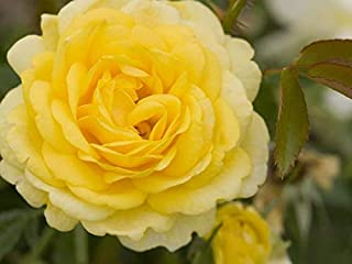 Easy Elegance High Voltage Yellow Rose - Live Plant - 4