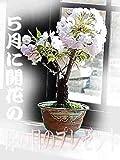 母の日ギフト 八重ミニ桜盆栽