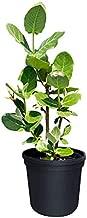PlantVine Calotropis gigantea, Giant Milkweed, Crown Flower - 10 Inch Pot (3 Gallon), Live Plant
