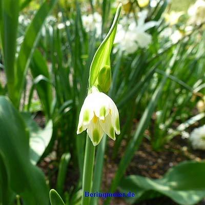Leucojum vernum Märzenbecher DER ECHTER MÄRZENBECHER !! blüht im März, Frühlingsknotenblume 24 Zwiebeln