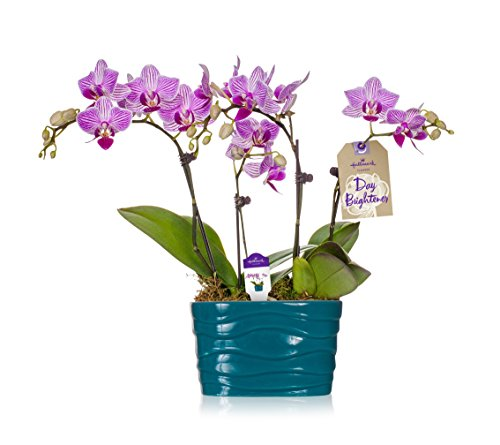 Hallmark Flowers Live Plant, Turquoise Ceramic Container, Orchid Color: Pink