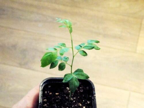 Curry Leaf Tree (Bergera koenigii L) Pflanze