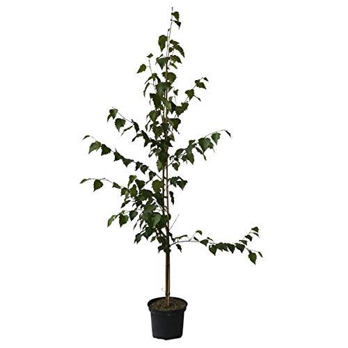Müllers Grüner Garten Shop Hängebirke Sandbirke Betula pendula Pionierbaum Hausbaum Heister mit ca. 80-120 cm 5 Liter Topf