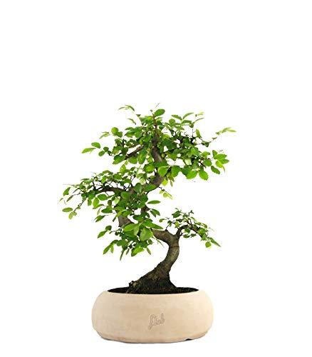 FLOB Olmo Bonsai | Bonsai di zelkova pianta Vera | con Vaso Artigianale Piante da Interno Flower