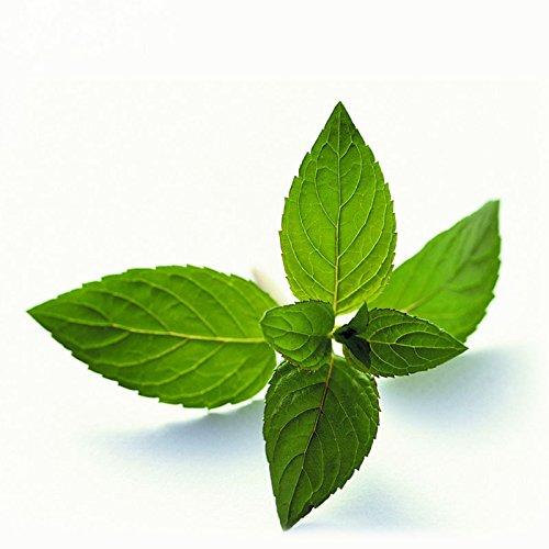 Plante aromatique Légume vert menthe Graines Balcon Potted Mint taux Seeds Germination 98% 200PCS