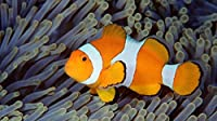 水草の隣の金魚500ピースジグソーパズル 木製ジグソー大人の子供脳チャレンジ