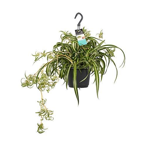 Zimmerpflanze von Botanicly – Graslilie – Höhe: 40 cm – Chlorophytum comosum Bonnie