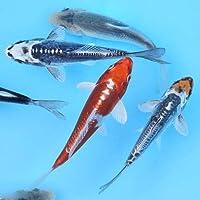 (錦鯉)錦鯉ミックス Sサイズ 6~10cm(10匹)