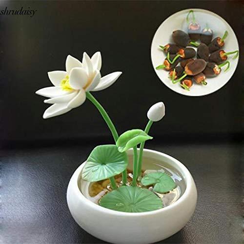 ScoutSeed Azul: Semillas de flores Cuenco Plantas acuáticas hidropónicas de loto Mini Semillas de lirio de agua S5DY