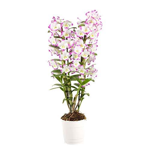 "Dendrobium nobile""Irene Smile"" | Orchidee | Weiße-Lila Blüte | Höhe 50-60 cm | Topf-Ø 12 cm"