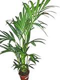 Planta de interior - Planta para la casa o la oficina - Howea forsteriana Palmera Kentia - Palma del paraíso - 1,8 metros