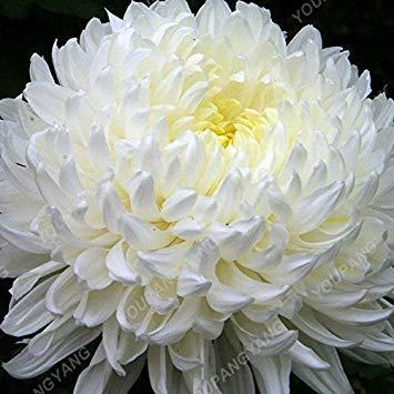 Vista 100 Teile/paket Aster Samen Aster Blume Bonsai Blumensamen Regenbogen Chrysantheme Samen Mehrjährige Blumen Hausgarten-anlagen Chrysantheme samen