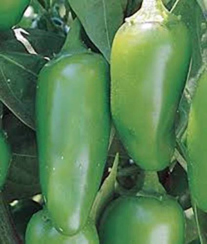 PEPPER SEED, EARLY JALAPENO CHILLE, HEIRLOOM, ORGANIC, Nicht-GMO, 500 SEEDS, CHILLE