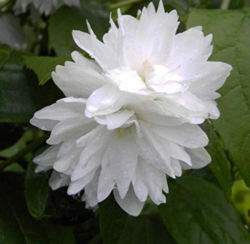 Gartenjasmin Minnesota Snowflake - Pfeifenstrauch - Philadelphus Minnesota Snowflake - stark duftend (40-60)