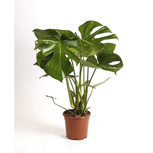 Monstera delicosa 60-70 cm Köstliches Fensterblatt Zimmerpflanze