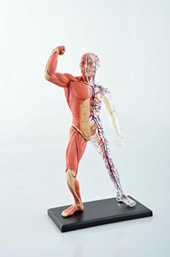 BestDental 4D-Muskel- und Skelett-Anatomie-Modell, 20,3 cm, 46 Teile,  medizinische Simulation, menschliche Anatomie, für die Schule