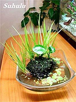 Vert mousse Graines 120 Pcs exotiques rares Graines Bonsai Moss Belle Moss Boule décorative Jardin créatif herbe Graines Plante en pot 14