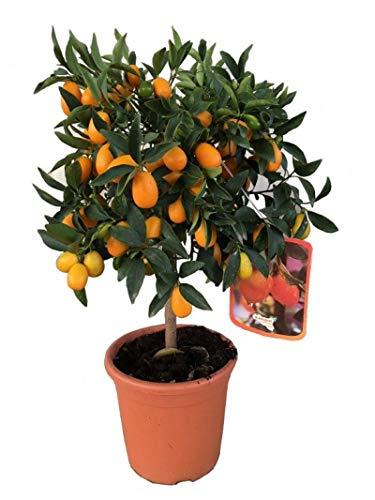 Kumquat enano árbol frutal PORTES GRATIS