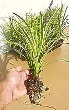 silvery sunproof plant