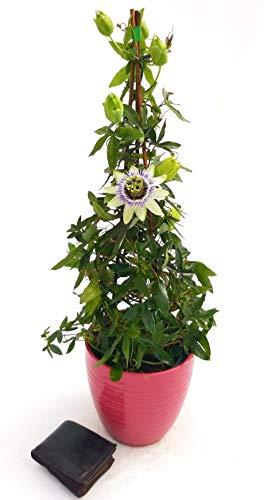 PASSIFLORA EDULIS, FRUTTO DELLA PASSIONE IN VASO CERAMICA ROSSO RIGATO, Piramide h 70cm vaso 18, pianta vera
