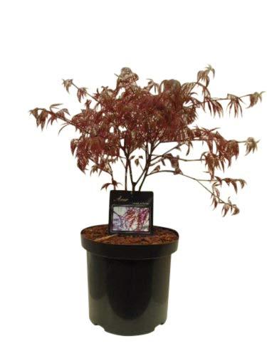 Acer Palmatum Dissectum Garnet - Érable du Japon - Hauteur 80 cm