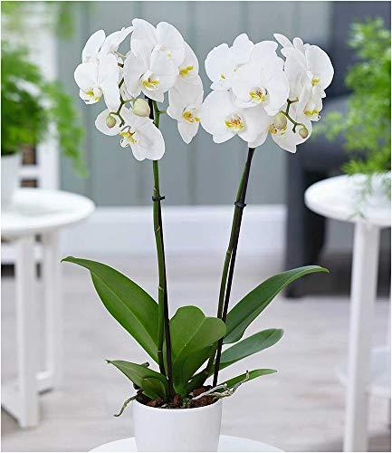 """BALDUR-Garten Phalaenopsis Orchidee, 2 Triebe,""""Weiß"""", 1 Pflanze Schmetterlingsorchidee Nachtfalterorchidee Zimmerpflanze"""