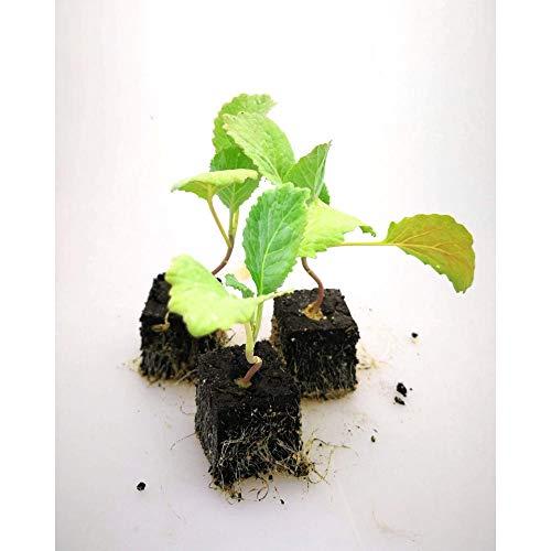 Gemüsepflanzen - Wirsing - Brassica oleracea convar. capitata var. sabauda - Brassicaceae - 6 Pflanzen