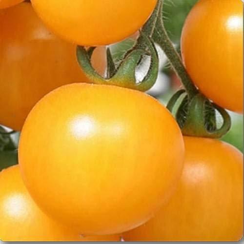 GEOPONICS Seme Giallo OBLATE POMODORO SEMI (CONFEZIONE DI SEMI 30 X 6 PER PKTS) 6 confezione di giallo OBLATE POMODORO Seed (180 per pacchetto)