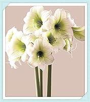 ヒッペストラム球根 - 周囲16〜22cm、生き残りやすい、春の開花植物、