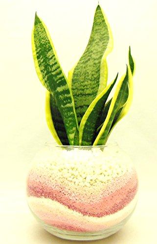 観葉 植物 サンセベリア ハイドロカルチャー ガラス植え M ピンク お手入れ簡単 室内で安心な土を使わない水耕栽培 お部屋にグリーンを置いてきれいな空気でリラックス
