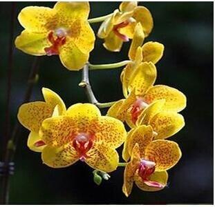 10pcs/lot papillon graines d'orchidées, fleurs d'intérieur bonsaï quatre saisons, Phalaenopsis Orchidées jardin maison 11