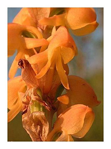 Satyrium coriifolium - orchidées - 20 graines