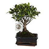 Bonsai Tree FICUS RETUSA Ginseng Indoor House Plant in ø15cm Ceramic Ball Shape with Saucer